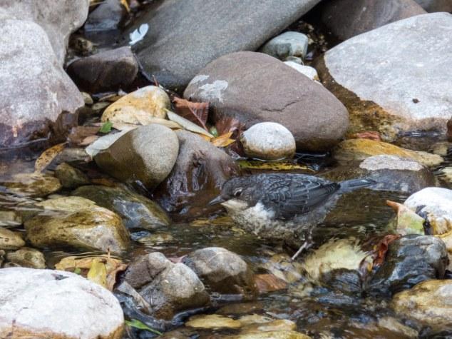 Mirlo acuático (Cinclus cinclus)